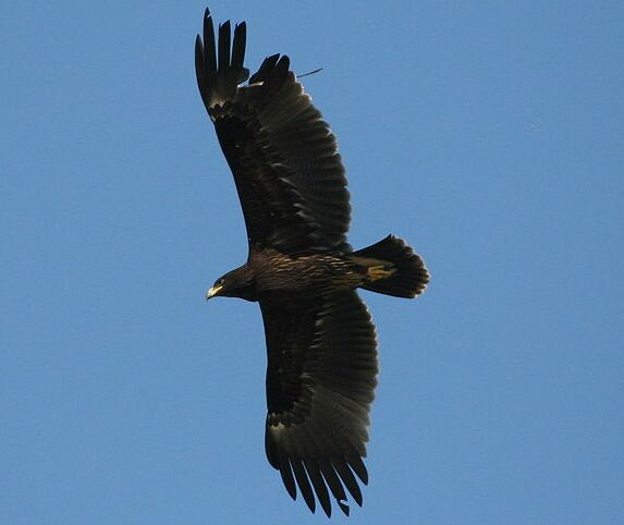 Great Spotted Eagle in Poland